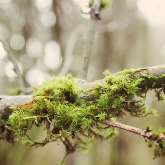 Moss on limb in the woods