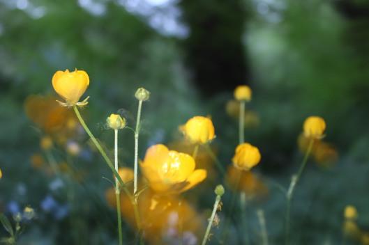 buttercup1
