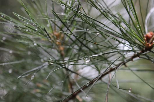 pine1